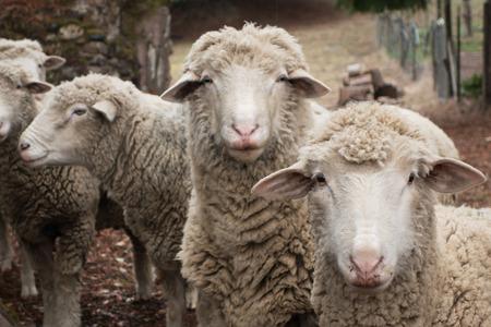 Pecore curiose in un cantiere di fattoria primo piano. Archivio Fotografico - 25956671