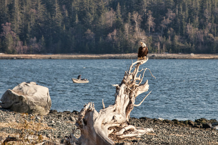 Bald Eagle on a beach near Letnikof Cove