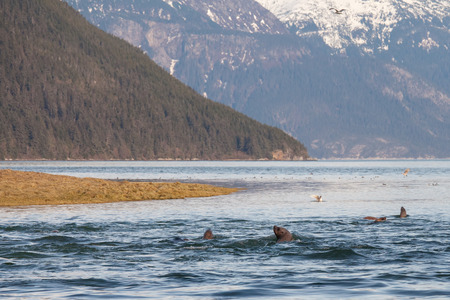 Steller sea lions and shore birds feeding on  Hooligan (candlefish) during the spring run in the Chilkoot river near Haines Alaska. photo