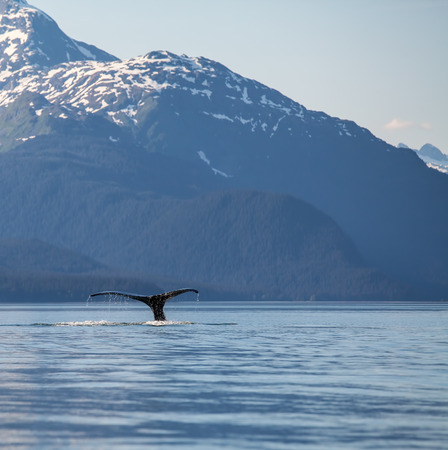 Humback whale tail in  Southeast Alaska with mountains in the background.