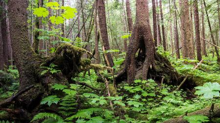 hemlock: Rain forest in Southeast Alaska with hemlock trees, strange roots, devils Club and ferns. Stock Photo