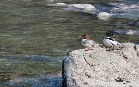 mated: Mated pair of Common Mergansers resting on a rock in an Alaskan river.
