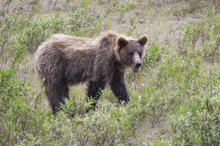 여름에 캐나다 유콘에서 오래 된 갈색 곰.