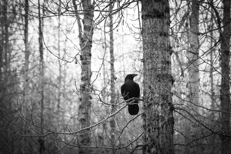 Raven in a stark birch forest in late fall in black and white. photo