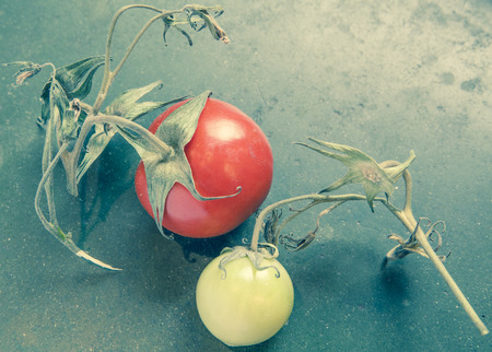 home grown: Home grown tomatoes with vine still attached on a rustic counter with vintage coloration. Stock Photo
