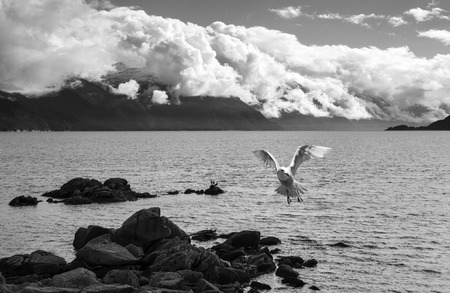 southeast alaska: Seagull in flight over the water of Southeast Alaska with clouds in the distance in black and white. Stock Photo