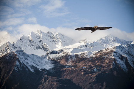 Alaskan mountain peaks dusted with snow with a flying bald eagle in fall. Stockfoto