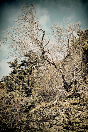 southeast alaska: Bare tree with twisted branches clinging to a rocky cliff under blue skies in Southeast Alaska processed with a vintage look. Stock Photo