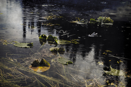 lilypad: Alaskan pond with lily pads with rain drops falling with textures added for an artistic look.