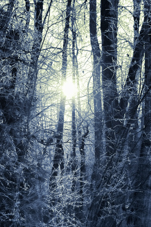 Low winter sun through trees in an Alaskan birch forest with frost. photo