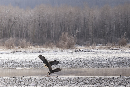 Two bald eagles interact at the Chilkat Bald Eagle Preserve near Haines Alaska. Imagens