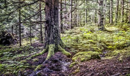 hemlock: Hemlock and spruce trees in old growth forest in Southeast Alaska.