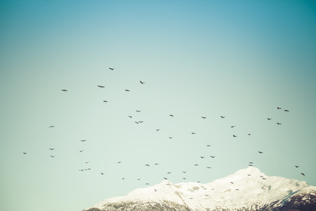 southeast alaska: Large flock of shore birds flying by a snow covered mountain in Southeast Alaska. Stock Photo