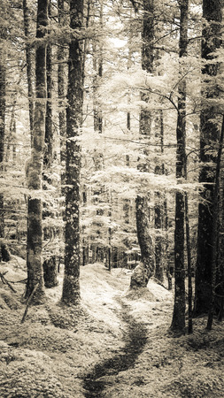 hemlock: Path through an Alaskan forest with a light covering of snow and frost. Stock Photo
