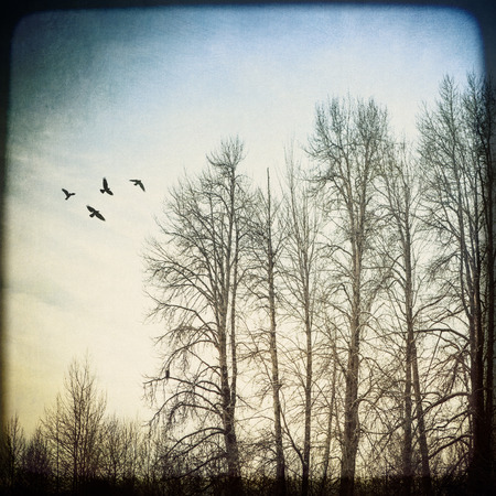 photomanipulation: Stand of birch trees in winter with a flock of birds processed with textures for an artistic look. Stock Photo