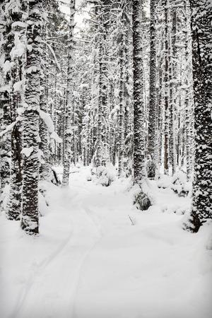 hemlock: Camino de trineo en la nieve a trav�s de un abeto y cicuta forestal en el sudeste de Alaska. Foto de archivo