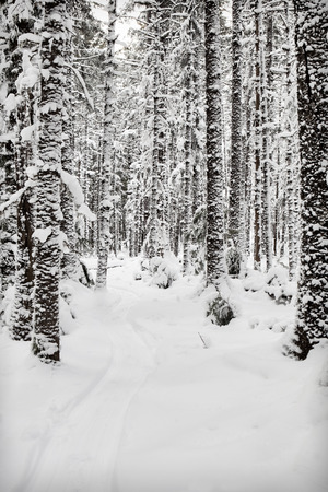 hemlock: Sled path in the snow through a spruce and hemlock forest in Southeast Alaska.