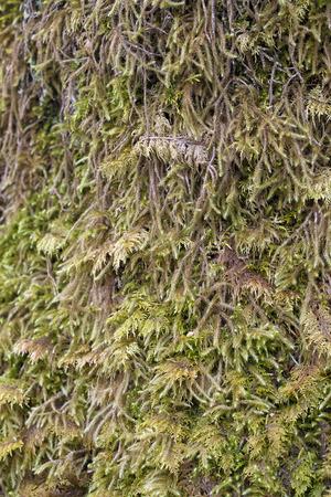southeast alaska: Thick moss on a tree trunk in Southeast Alaska close up.