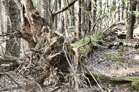 southeast alaska: Old fallen spruce tree with exposed root ball in a forest in Southeast Alaska. Stock Photo