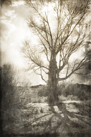 cottonwood: Cottonwood tree in Californias high desert backlit with clouds and shadows processed with texture overlay for a vintage look. Stock Photo