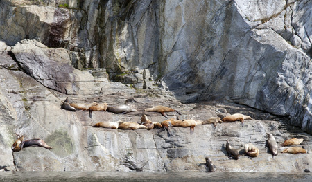 pinniped: Steller sea lions hauled out on rocky cliff in Southeast Alaska near the Lynn Canal. Stock Photo
