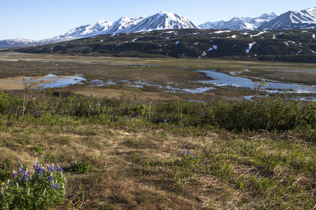 yukon: Wild flowers melting snow in the Canadian Yukon in spring with mountains in the background.