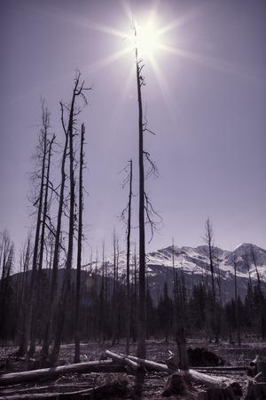 arboles secos: �rboles muertos en Alaska con un sol y las monta�as en el fondo con la coloraci�n de la vendimia.