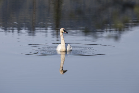 Single trumpeter swan in an Alaskan lake with reflections.