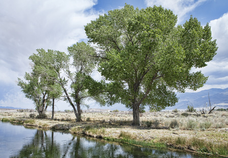 cottonwood  tree: Cottonwood trees in Bishop California near a water filled irrigation ditch. Stock Photo