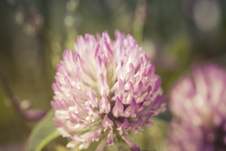 red clover: Red Clover flower macro with a background blur.