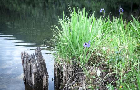 dewey: Iris selvatici da un lago nel sud-est dell'Alaska in estate. Archivio Fotografico