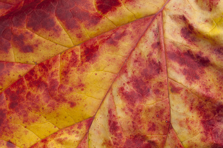 dying: Rhubarb leaf dying back in fall close-up with interesting abstract colors and patterns.