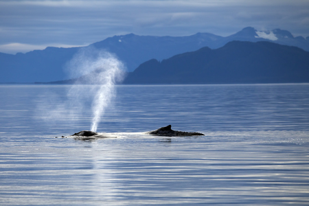 blow hole: Humpback whale in Alaskas Inside Passage breathing on the surface with mountains in the background. Stock Photo