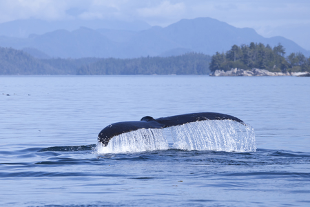 Humpback whale tale dripping with water in British Columbia off the Sunshine Coast.