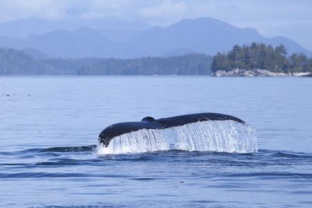 sol radiante: Jorobada goteo cuento de la ballena con agua en la Columbia Británica de la costa del sol.