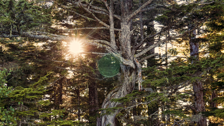 photomanipulation: Magical sphere in a lush cedar forest with a sunburst through the trees.