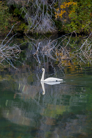 trumpeter swan: Trumpeter swan on an Alaskan lake in fall with colorful reflections in calm water.
