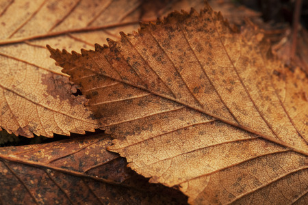 Macro close up of Alder tree leaves in fall.