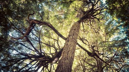 cicuta: Enredado ramas de un abeto del oeste en un bosque en el sudeste de Alaska. Foto de archivo