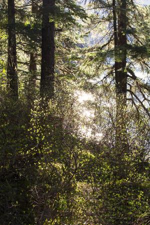 cicuta: selva tropical del sureste de Alaska en la primavera con luz brillante a través de los árboles.
