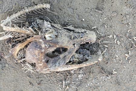 carcass: Zalm karkas op een Alaska strand met maden tijdens spawing seizoen.