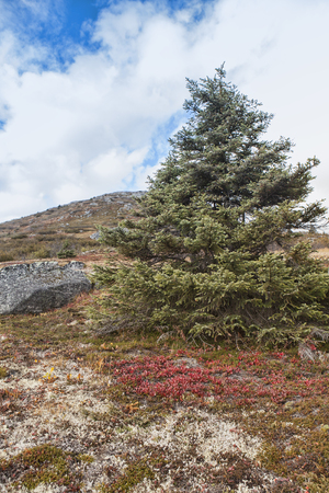 yukon territory: Spruce tree in the mountains of Yukon Territory in Canada with fall colors. Stock Photo