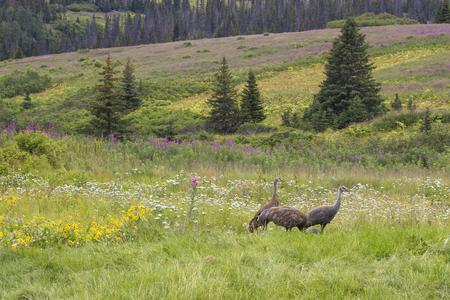 sandhill crane: Sandhill Crane parents and older colt in a wildflower meadow in Alaska.