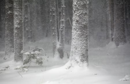 cicuta: Forest in Southeast Alaska during a snow storm with spruce and hemlock trees.