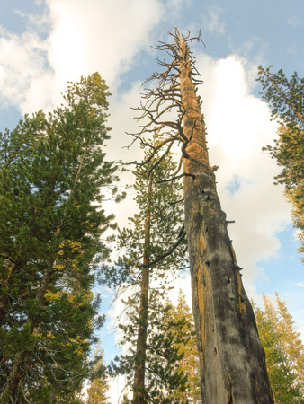 ponderosa pine: Tall trees near Yosemite National Park in summer with a large dead tree.