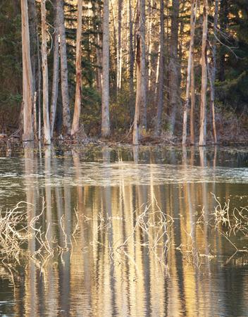 cicuta: Los árboles altos reflejan en un lago de Alaska al atardecer con luz dorada.