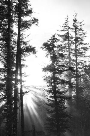 cicuta: Los rayos del sol que fluyen a través de un bosque de niebla de los árboles de abeto y cicuta altos en el sudeste de Alaska en blanco y negro.