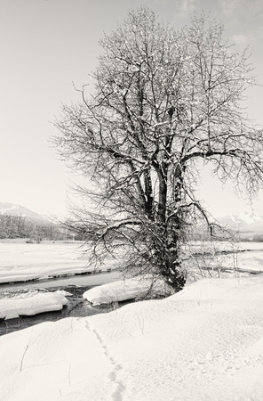 cottonwood tree: Animal tracks in snow leading to the Chilkat river near Haines Alaska with an old cottonwood tree in black and white.