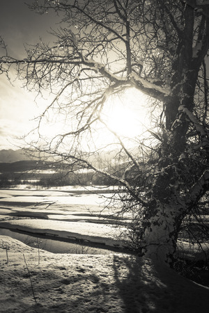 southeast alaska: Glow of winter sun through tree branches by the Chilkat river in Southeast Alaska in black and white.