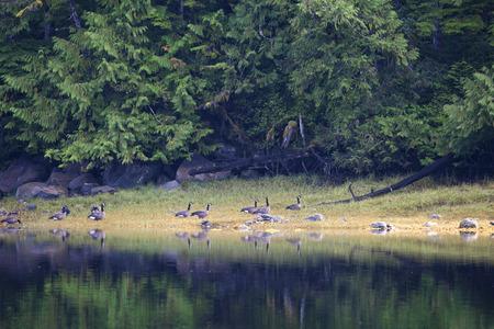 cicuta: Bandada de gansos de Canad� en una playa de arena en la Columbia Brit�nica en el verano.
